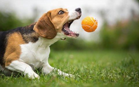 Hund-Ball